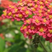 ACHILLEA L.- ТЫСЯЧЕЛИСТНИК millefolium