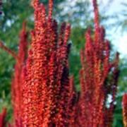 amaranthus_paniculatus Амарант метельчатый
