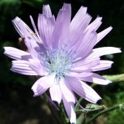 CICERBITA WALLR.— ЦИЦЕРБИТА macrophylla