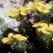 DRABA L.- КРУПКА bruniifolia