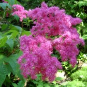 FILIPENDULA MILL.—ЛАБАЗНИК filipendula purpurea