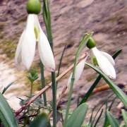 galanthus_plicatus Подснежник складчатый