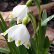 leucojum_vernum Белоцветник весенний
