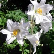 lilium_candidum Лилия белоснежная, Лилия белая