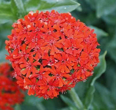 цветы зорька фото: