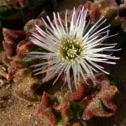 mesembryanthemum_crystallinum Мезембриантемум хрустальный, Хрустальная трава