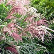 miscanthus_sinensis Мискантус китайский