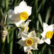 narcissus_tazetta Нарцисс букетный, Тацетт