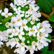 PACHYPHRAGMA (DC) REICHB.— ТОЛСТОСТЕНКА macrophyllum