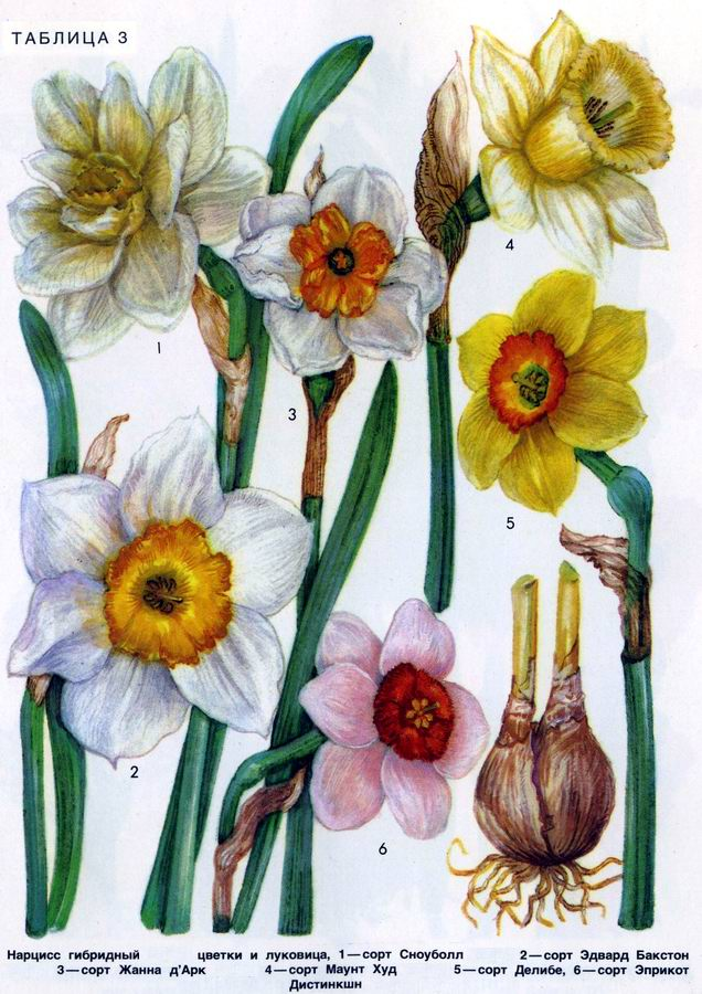 Нарцисс гибридный