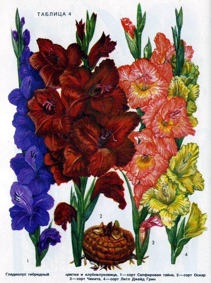 Гладиолус гибридный