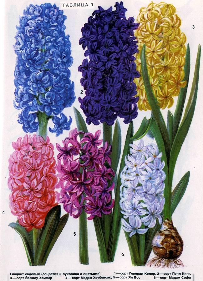 Гиацинт садовый