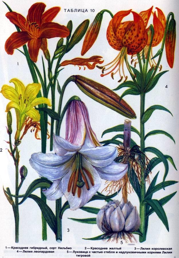 Красоднев, лилии