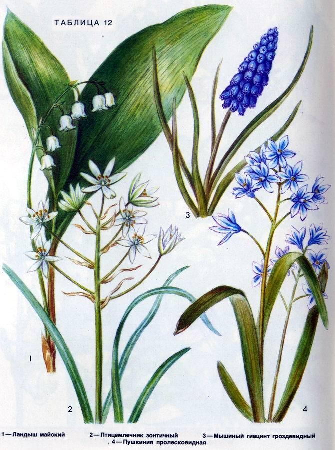 Ландыш, птицемлечник, мышиный гиацинт, пушкиния