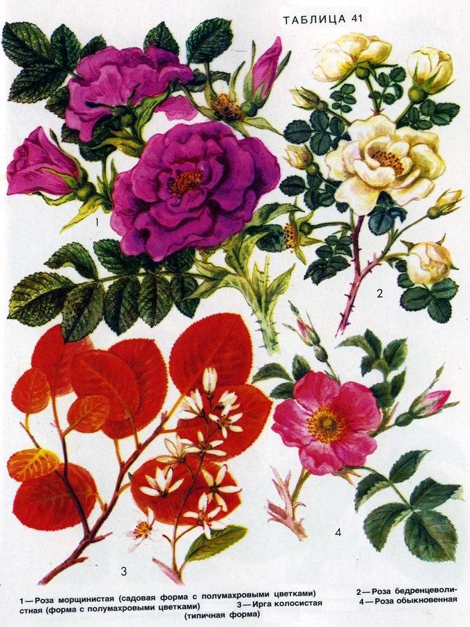 Роза, ирга колосистая