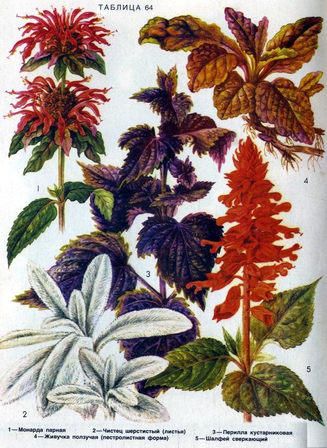 перилла  цветов