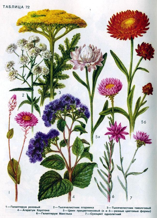 Гелиптерум, тысячелистник, агератум, цмин, сухоцвет