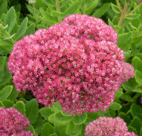 Фото цветок очитки