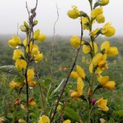 THERMOPSIS R. BR.—ТЕРМОПСИС lupinoides