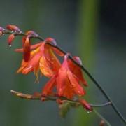 tritonia_crocosmaeflora Тритония крокосмиецветная, Монтбреция садовая